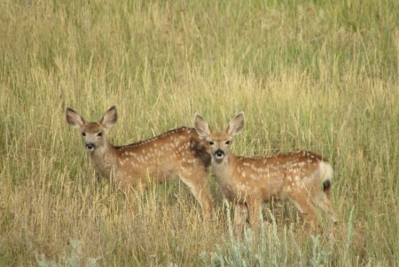 Two spotted fawns in a grassy field.