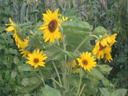 Several bright sunflowers growing in corn field.