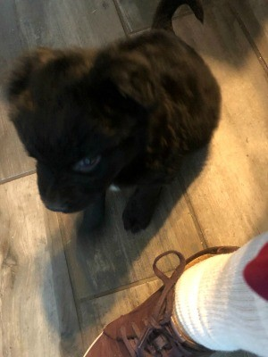 A small black dog on a wooden floor.