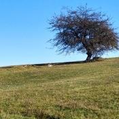 A lone tree in a field in Serbia.