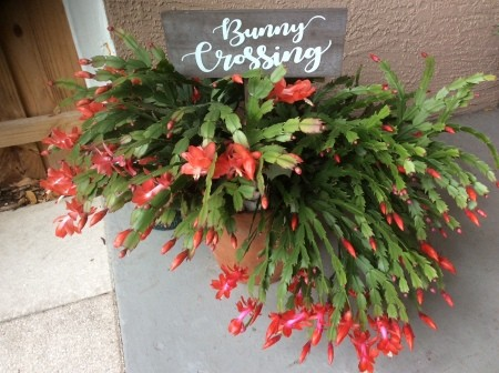 A large Christmas cactus in bloom.