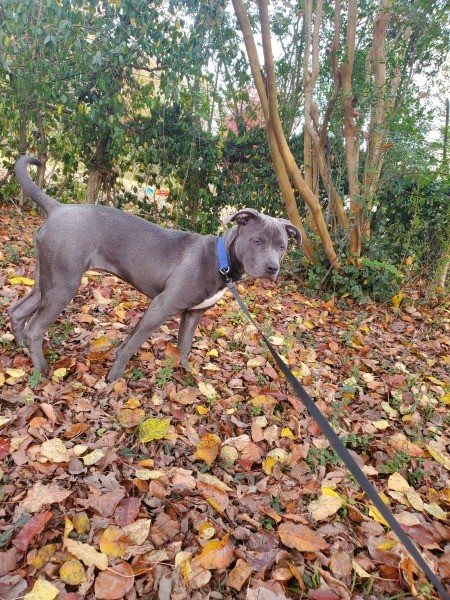 A dog on a leash in leaves.