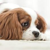 A sad dog lying on a carpeted floor.