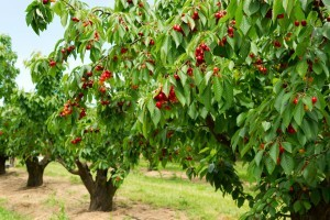 Several cherry trees with fruit.