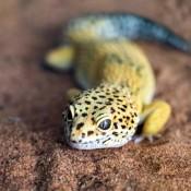 A leopard gecko on a sandy surface.