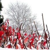 Red leaves with snow.