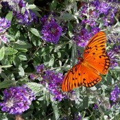 An orange butterfly on a blooming bush with purple flowers.