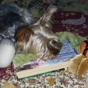 A dog asleep on a book.