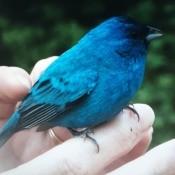 A blue bird being held.