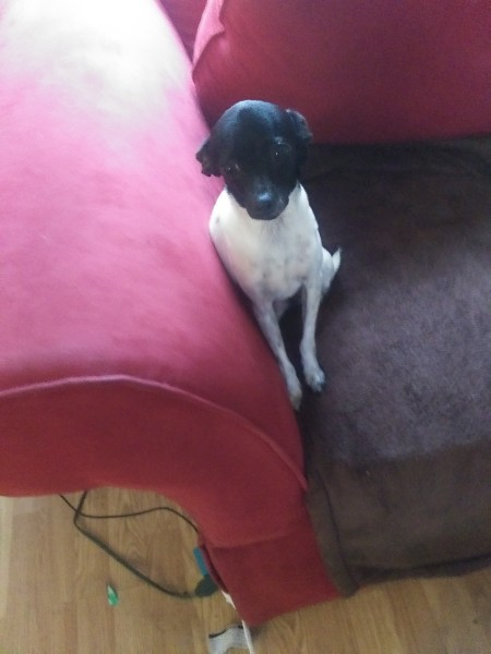 A black and white dog on a couch.