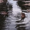 Ducks swimming in the water.
