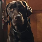 A chocolate lab looking at the camera.