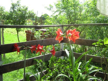 Beautiful Amaryllis - red and red and white blooms in garden
