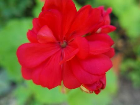 Pelargonium (Geranium) - closeup of beautiful red geranium bloom