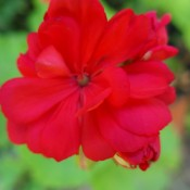 Pelargonium (Geranium) - closeup of beautiful red geranium bloom