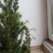 A small Alberta spruce.