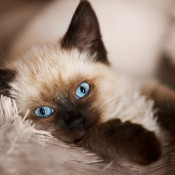A Balinese cat on a fluffy blanket.