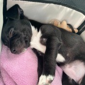 A small black and white dog asleep.