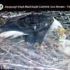 An eagle's nest with chicks.