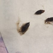 Small black bugs on a white surface.