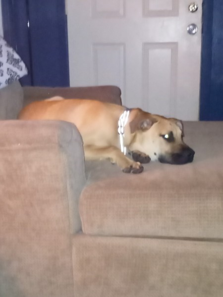 A dog lying on a chair.