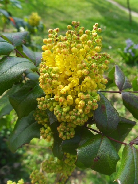 Yellow mahonia in bloom.