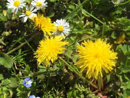 Yellow dandelions in a lawn.