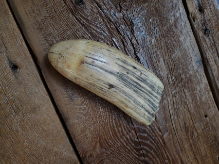 An old whale's tooth on a wood surface.