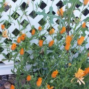 A bunch of orange flowers growing near lattice.