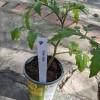 A plant label in a tomato plant.