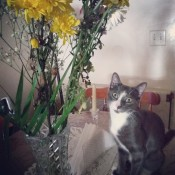 A grey and white cat by some flowers.