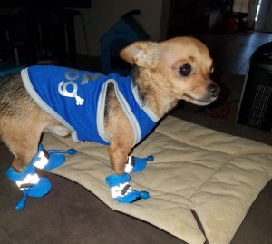 A small dog standing on a blanket.