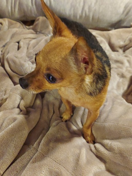 A small dog sitting on a blanket.