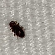 A small dark bug on a white background.
