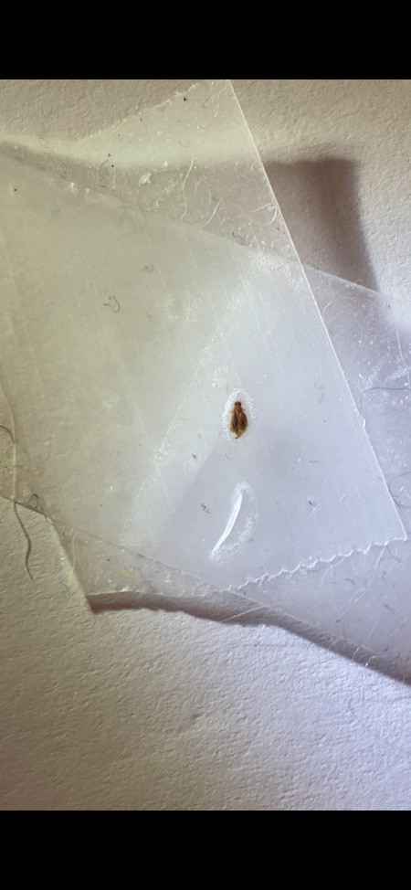 A small bug on a piece of tape.