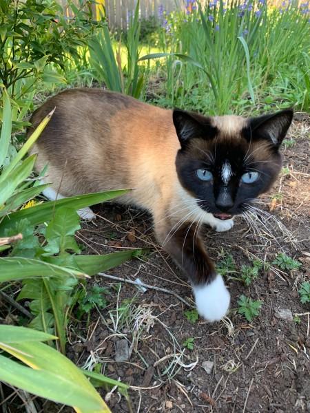 A Siamese cat in the garden.