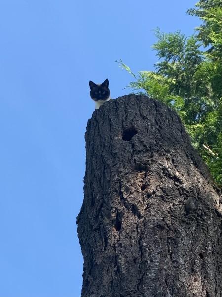 A Siamese cat high on a stump.