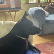 A black dog on a couch.