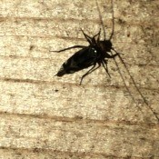 A large black bug on a wooden surface.