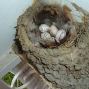 Barn Swallow eggs in a nest.