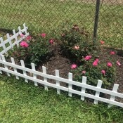 Rose bushes behind a small white picket fence.