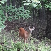 A deer in the woods.