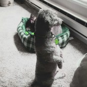 A dog sitting on its hind legs, looking out the window.