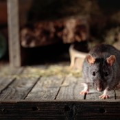 A mouse in a barn.