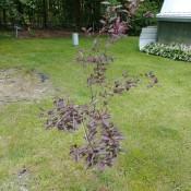 A shrub with reddish leaves.