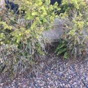 Some dying bottlebrush bushes.