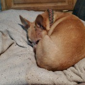 A small brown dog curled up.