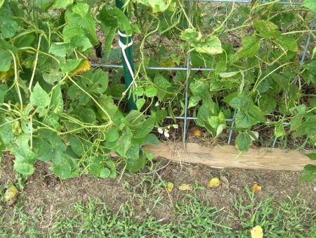 A wire frame to grow beans on.