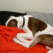 A brown and white dog on a red blanket.